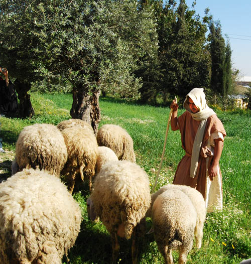 Shepherd tends his flock at the Nazareth Village. Photo by Ferrell Jenkins.