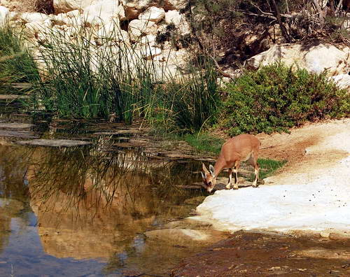 A young Ibex in Wadi Zin. Photo by Ferrell Jenkins.