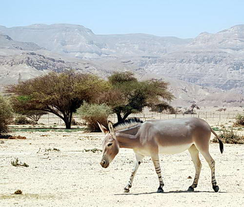 A Somalia Wild Donkey at the Yotvata Hai-Bar Reserve. Photo by Ferrell Jenkins.