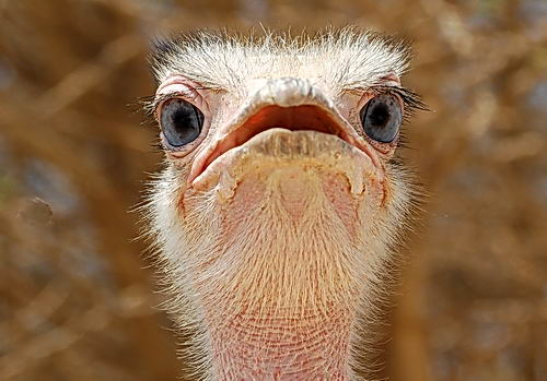 Ostrich at the Hai-Bar Nature Reserve. Photo by Ferrell Jenkins.