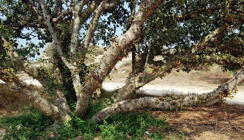 Sycamore tree at Ashkelon. Photo by Ferrell Jenkins.