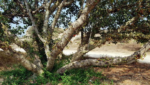 Sycamore tree at Ashkelon. Photo by Ferrell Jenkins.