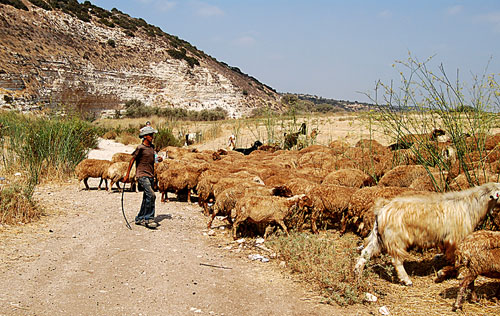 Bedouin shepherd in the Elah brook in the area below Khirbet Qeiyafa, Elah Fortress, or Khirbet Daoud. Photo by Ferrell Jenkins.