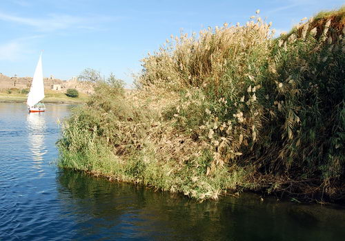 Reeds or rushes along the edge of the Nile River. Photo by Ferrell Jenkins.