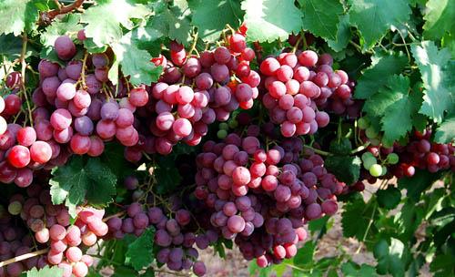 Grapes near Lachish. Photo by Ferrell Jenkins.