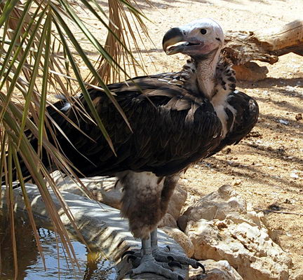 Vulture at the Hai-Bar Reserve in Israel. Photo by Ferrell Jenkins.