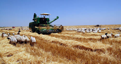 Harvesting grain in Eastern Turkey. Photo by Ferrell Jenkins.