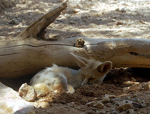 Foxes have holes. Photo at Hai Bar Nature Reserve by Ferrell Jenkins.