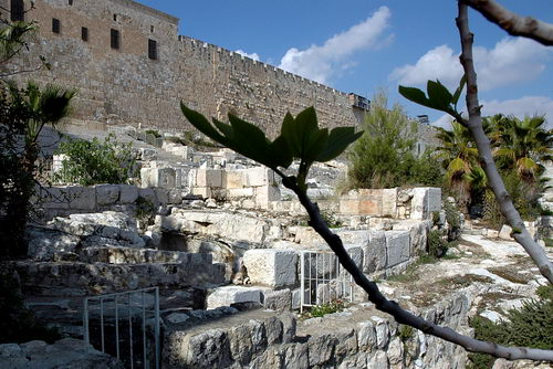 Figs at the Temple Mount excavation. Photo by Ferrell Jenkins.
