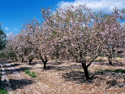 Almond trees blooming in the West Bank. Photo by Ferrell Jenkins.