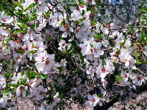 Almonds – a symbol of watchfulness and old age | Ferrell's ... Symbols Of Watchfulness