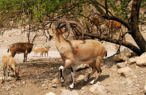 Ibex at En Gedi near the Dead Sea. Photo by Ferrell Jenkins.