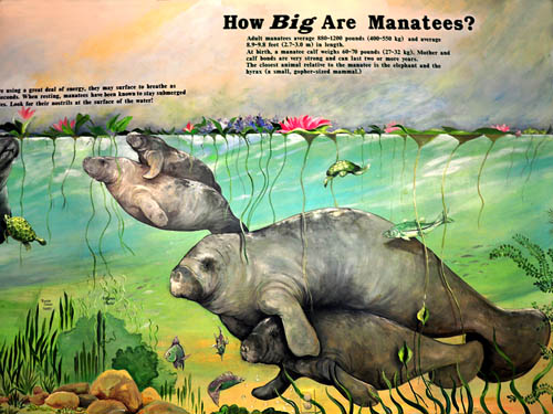 How Big Are Manatees? Photo by Ferrell Jenkins.