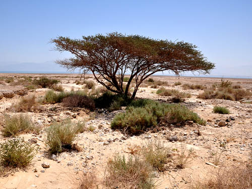 A lone acacia tree on the shore of the Dead Sea. Photo by Ferrell Jenkins.