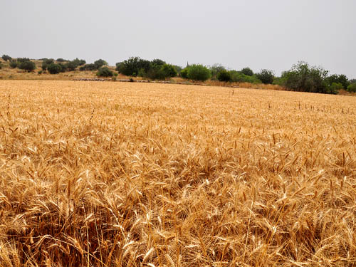 A Wheat Field in the Shephelah. Photo by Ferrell Jenkins.