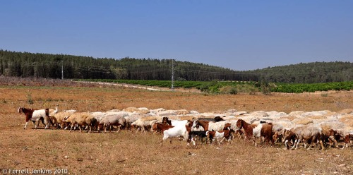 Sheep and goats at Tell es-Safi/Gath. Photo by Ferrell Jenkins.