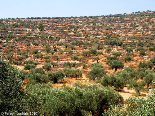 Terraced olive groves south of Shiloah. Photo by Ferrell Jenkins.