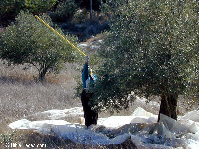 Olive harvesting in the Shephelah. Photo courtesy: BiblePlaces.com.