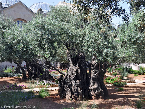 An older Olive trees in the traditional Garden of Gethsemane. Photo by Ferrell Jenkins.