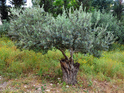 Olive tree with grafts at Nazareth Village. Photo by Ferrell Jenkins.