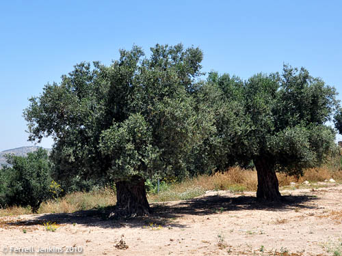 Olive Trees at Sepphoris in Galilee. Photo by Ferrell Jenkins.