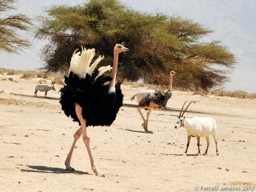 Ostrich at the Hai Bar Nature Reserve. Photo by Ferrell Jenkins.