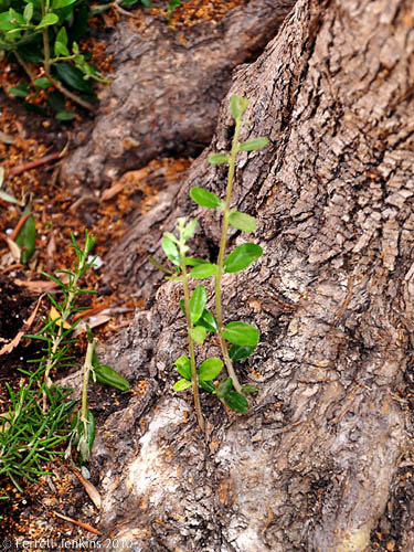 Olive shoots coming from an olive tree. Photo by Ferrell Jenkins.