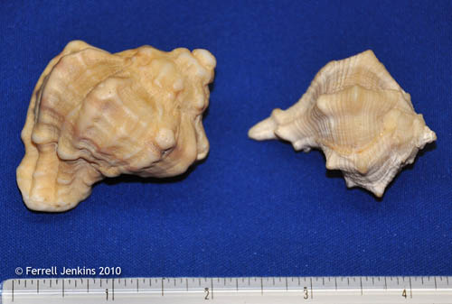Murex shells collected at Tyre. Photo by Ferrell Jenkins.