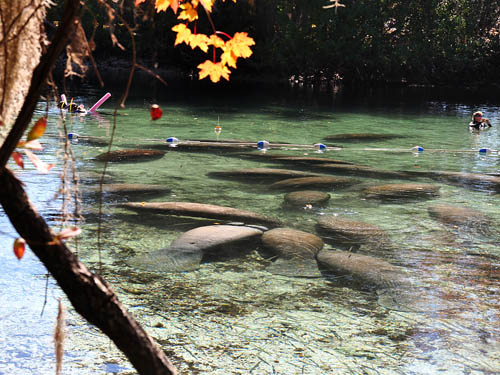 Manatees at Chassahowitzka National Wildlife Refuge