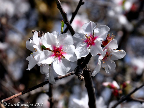 Almond blossoms near Azekah. Photo by Ferrell Jenkins.