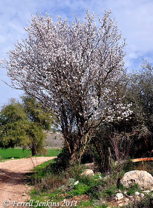 Almond tree in bloom near Azekah. Photo by Ferrell Jenkins.