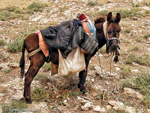 A donkey in Gilead (Transjordan). Photo by Ferrell Jenkins.