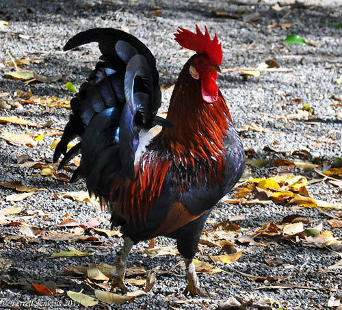 Rooster at Jordan River Park. Photo by Ferrell Jenkins.