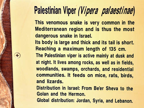 Description of the Palestinian Viper at HaiBar Reserve.