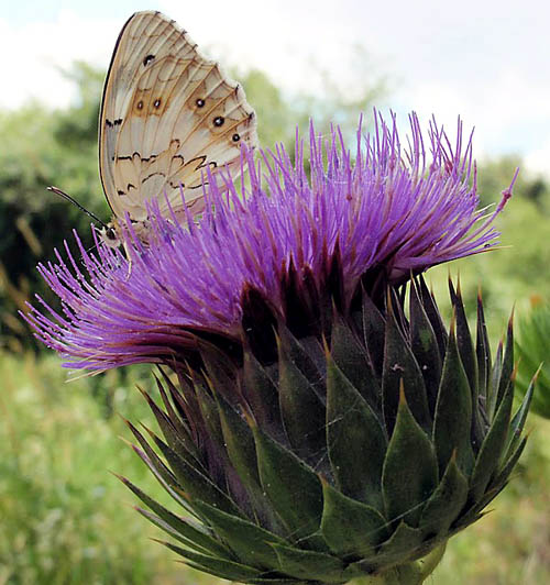 Butterfly on a thistle bloom. Photo © Larry Haverstock.