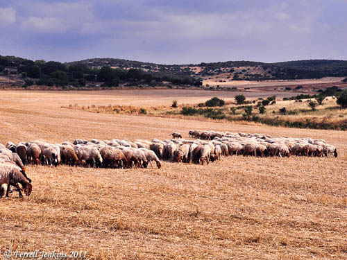 Sheep grazing in the Shephelah. Photo by Ferrell Jenkins.