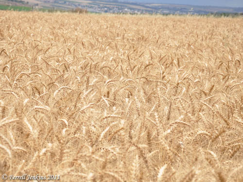 Wheat ready for harvest near En-Dor and Mount Tabor. May 13. Photo by Ferrell Jenkins.
