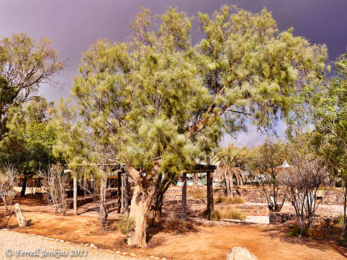 Tamarisk trees at Tel Beersheba. Photo by Ferrell Jenkins.