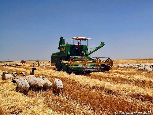 Sheep grazing as a field is being harvested. Photo by Ferrell Jenkins.