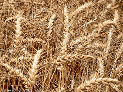 Wheat ready for harvest at En Dor. Photo by Ferrell Jenkins.