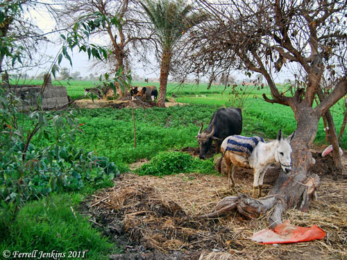 A typical scene in the Eastern Nile Delta. Photo Ferrell Jenkins.