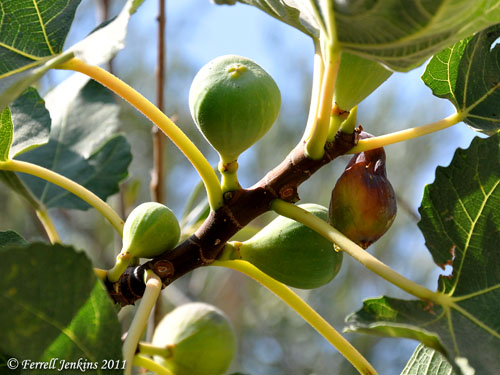 Ripe figs at Shechem, Early September. Photo by Ferrell Jenkins.