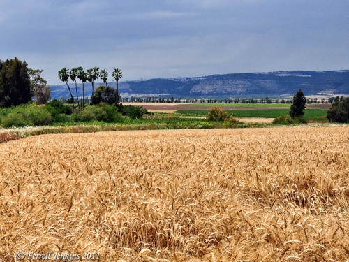 Abundant wheat fields near biblical Endor. Photo by Ferrell Jenkins.