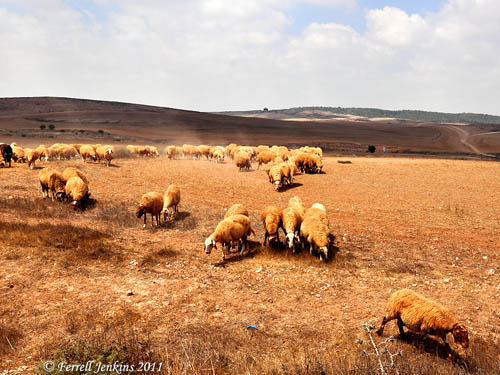 Sheep in the Negev. Photo by Ferrell Jenkins.