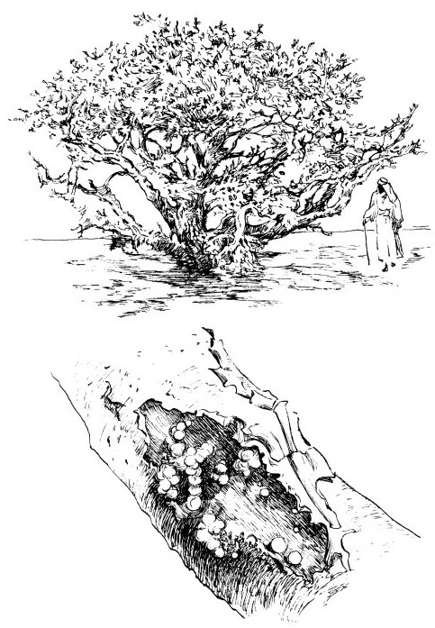 Frankincense Tree. 1000 Bible Images.