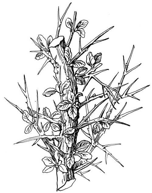 Myrrh branch. From 1000 Bible Images (Logos digital edition).