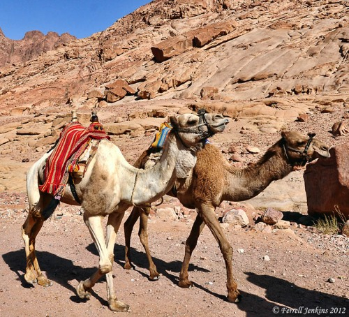 Camels in the Sinai Peninsula. Photo by Ferrell Jenkins.