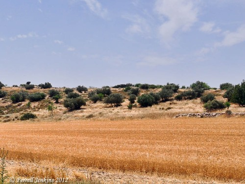 Wheat field near Maresha in the Shephelah. Photo by Ferrell Jenkins.