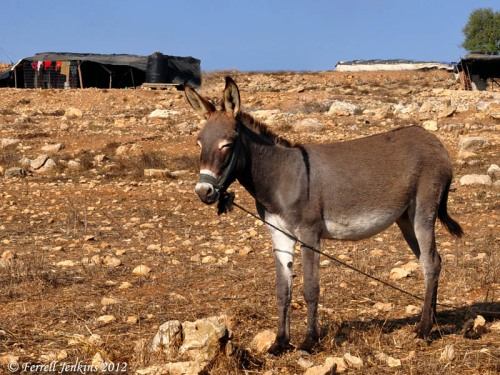 Donkey near Nebi Samwil and Gibeon. Photo by Ferrell Jenkins.