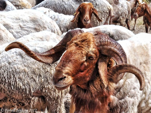 Ram at Socoh. Photo by Ferrell Jenkins.